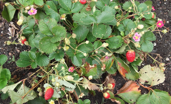 Strawberries Rusagonis, New Brunswick Canada