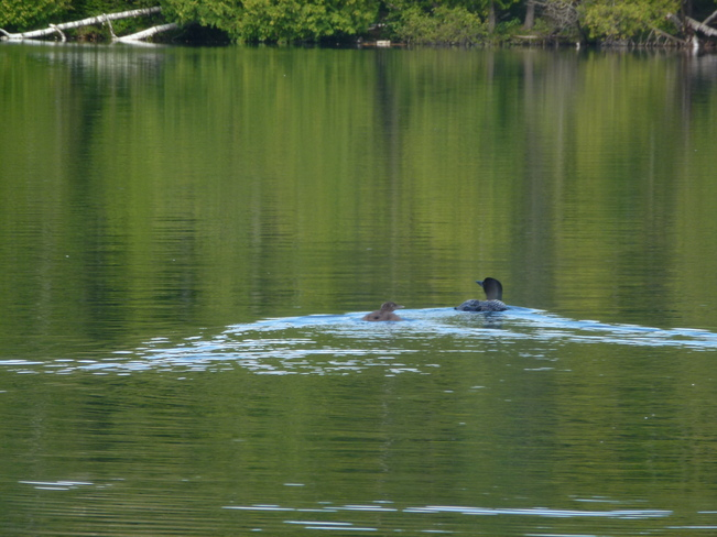 mother loon and her baby Killaloe, Ontario Canada