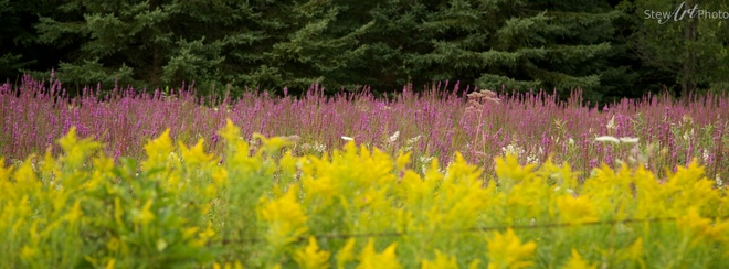 Layers of Fireweed and Goldenrod Ottawa, Ontario Canada