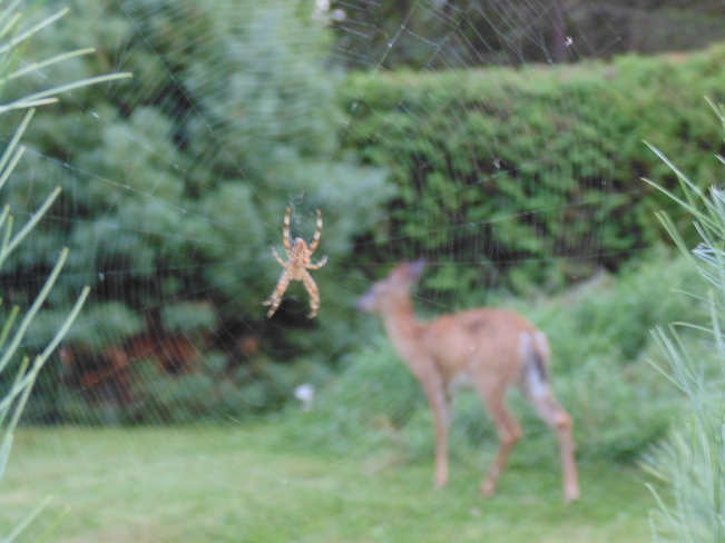 deer in spider web Rothesay, New Brunswick Canada