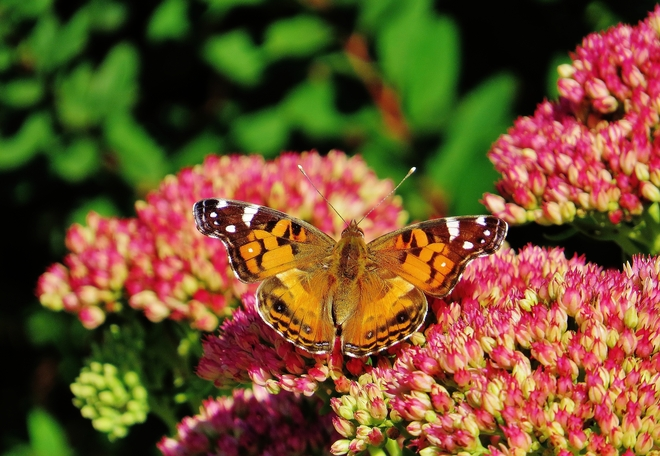 Painted Lady Butterfly works the gardens. North Bay, Ontario Canada