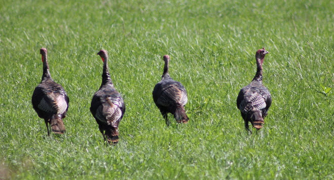 Wild Turkeys Brockville, Ontario Canada