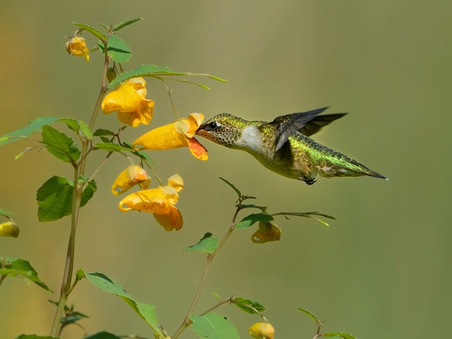 Ruby-throated Hummingbird in the Jewelweed Port Stanley, Ontario Canada