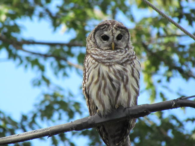 Barred Owl Long Sault, Ontario Canada