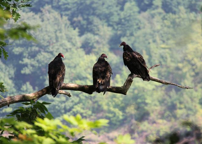 Turkey vultures Welland, Ontario Canada