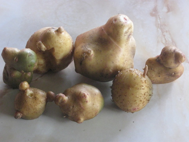 some of our more interesting potatoes Surrey, British Columbia Canada