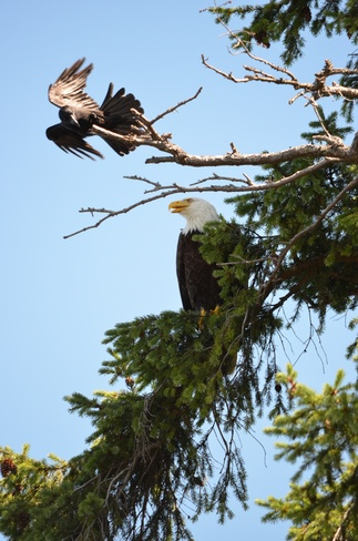Crow fighting with Bald Eagle Nanoose Bay, British Columbia Canada