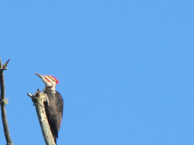 Pilated Woodpecker in the morning Temagami, Ontario Canada