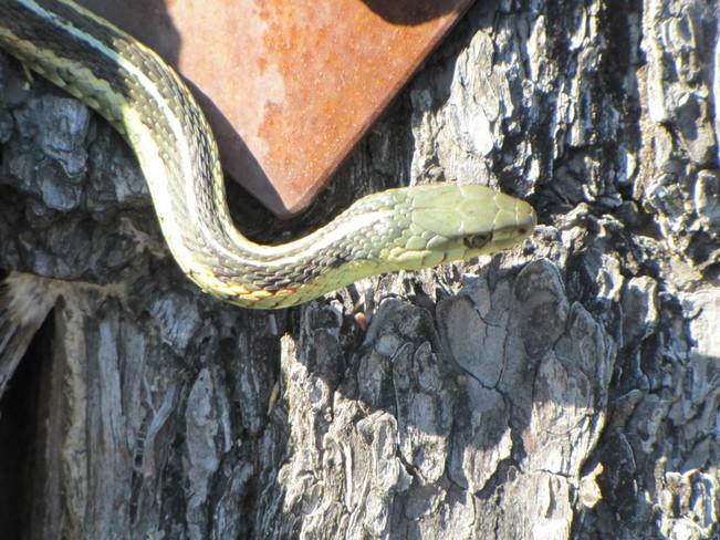 Garter Snake Temagami, Ontario Canada