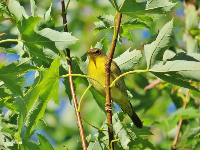 Yellow Warbler(?) just hanging around. North Bay, Ontario Canada