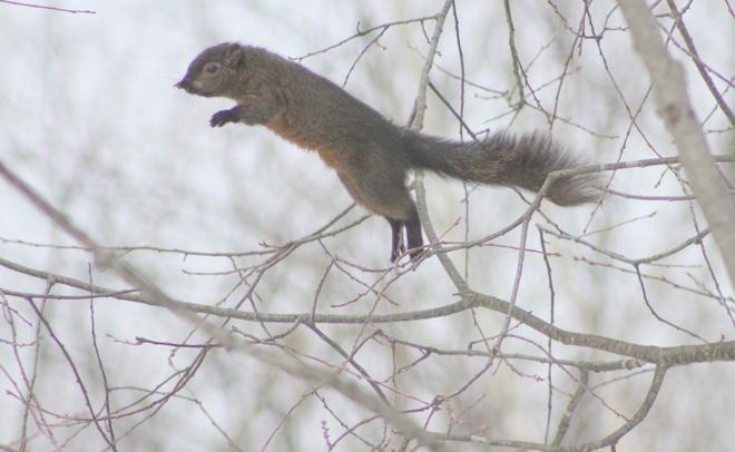 Super Squirrel Brockville, Ontario Canada