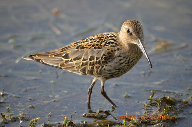 Juvenile Curlew Sandpiper or Dunlin ?