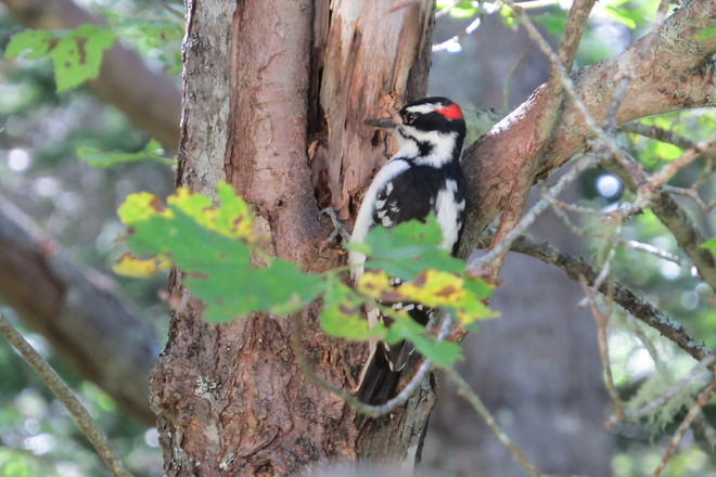 Downy Woodpecker (male) (Picoides pubescens) Pecking Away At An Old Maple Tree Chester, Nova Scotia Canada