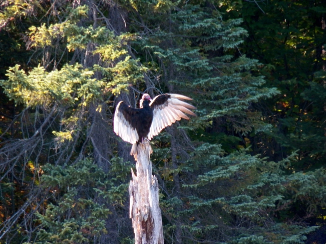 Turkey Vulture strikes a pose Elliot Lake, Ontario Canada
