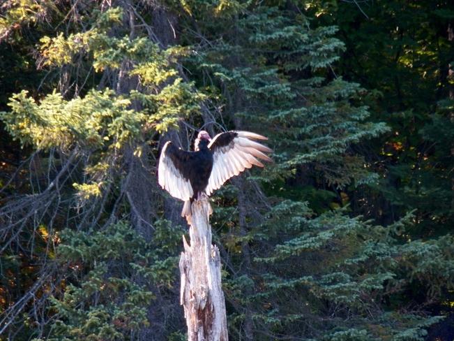 Turkey Vulture strikes a pose Elliot Lake, Ontario Canada