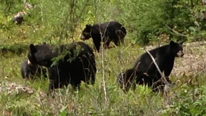 Black bear with cubs Rennie, Manitoba Canada