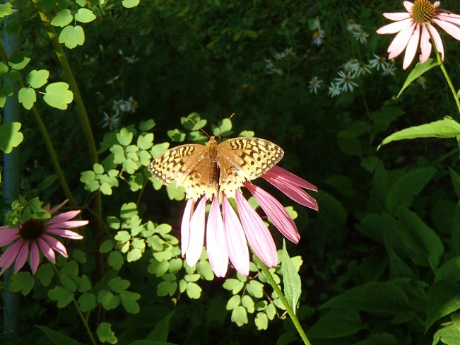 Butterfly on Echinacea Rawdon, Quebec Canada