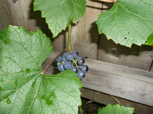 My Yummy Grapes Massey, Ontario Canada