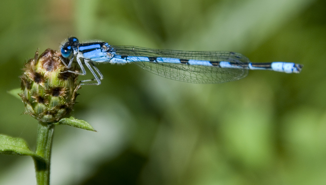 Blue Dragonfly Mitchell, Ontario Canada