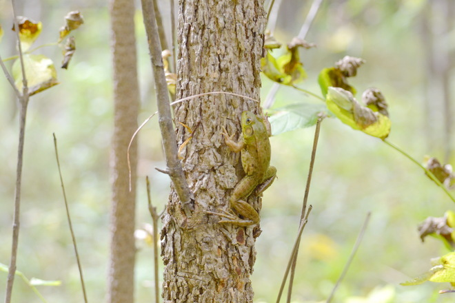 Tree Frog Lively, Ontario Canada
