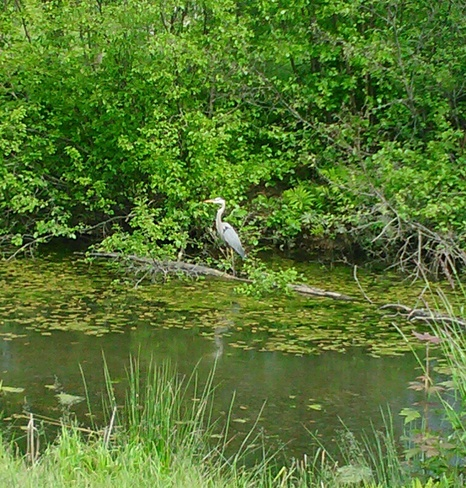 Wildlife at the Carmen Creek Golf Course Fredericton, New Brunswick Canada
