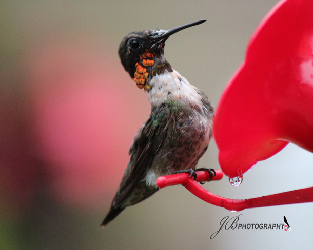 Male Ruby-throated Hummer Port Colborne, Ontario Canada