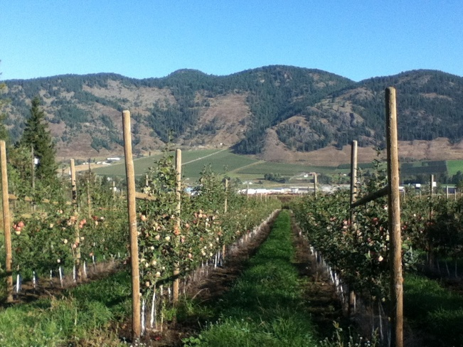 rows of yummy apples South Vernon, British Columbia Canada
