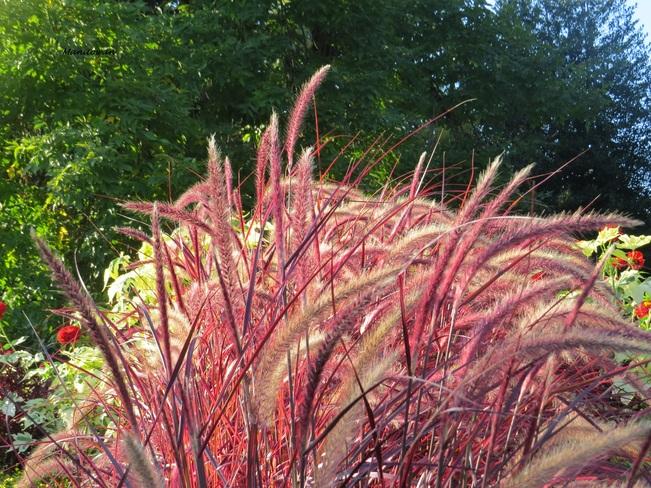 Brilliant Grasses Shine New Westminster, British Columbia Canada