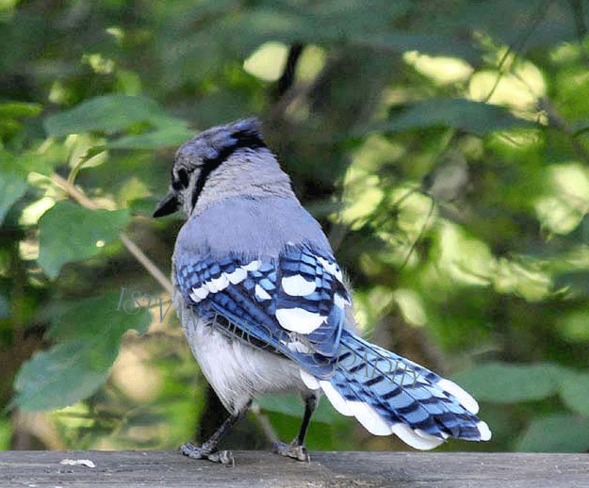 Blue - Jays Toronto Islands, Ontario Canada