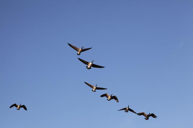 Geese London, Ontario Canada