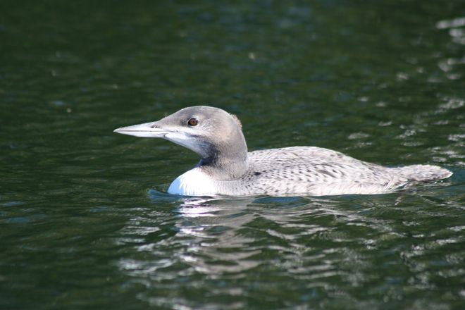 Baby Loon Has Feathered Out Temiskaming Shores, Ontario Canada
