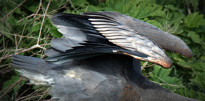 Wings OF A Great Blue Heron Delta, British Columbia Canada