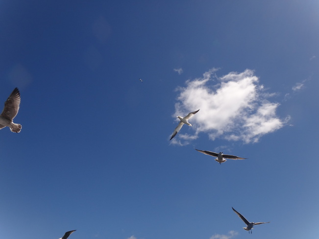 Gulls and gannets above North Rustico, Prince Edward Island Canada