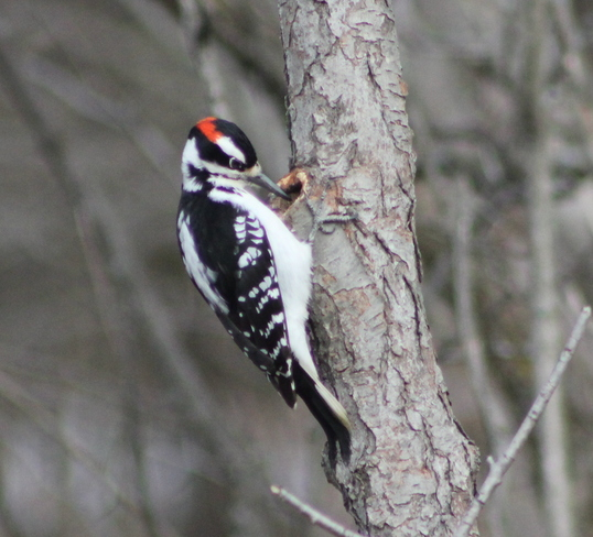 Woodpecker Brockville, Ontario Canada