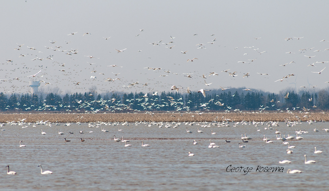 Tundra Swans Grand Bend, Ontario Canada