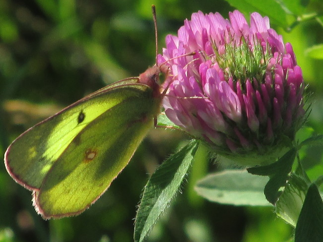 Butterfly on Clover Moncton, New Brunswick Canada