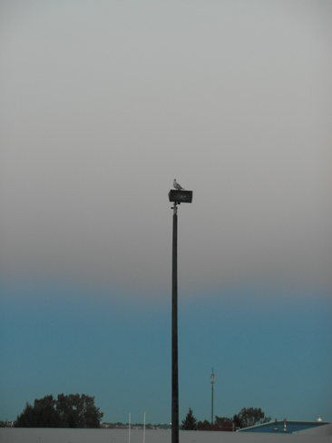 Seagul on light post at diefenbaker high school. Calgary, Alberta Canada
