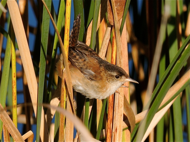 Marsh Wren in the Morning Sun. Port Perry, Ontario Canada
