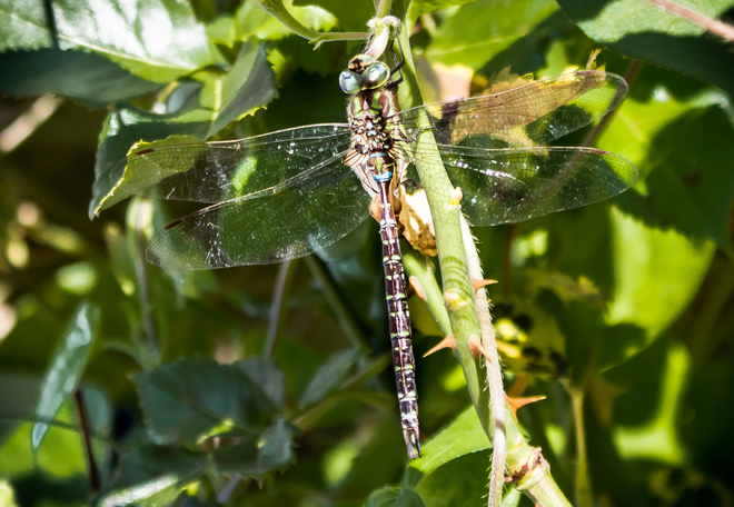Southern Hawker Dragonfly Mississauga, Ontario Canada