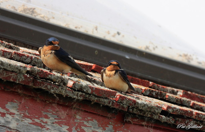 Cliff Swallows Hecla, Manitoba Canada