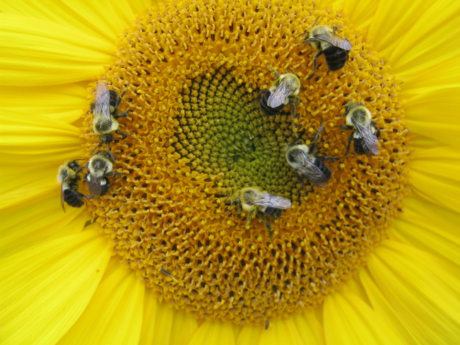 BEES GETTING THEIR FILL Thunder Bay, Ontario Canada