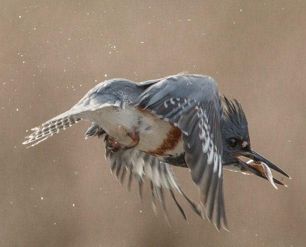 Kingfisher-In Flight, with catch Wallace, Nova Scotia Canada