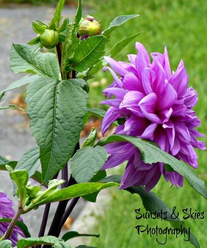 Purple Peony Belleville, Ontario Canada