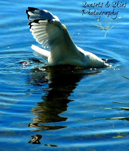 Seagull Diving for some bread Belleville, Ontario Canada