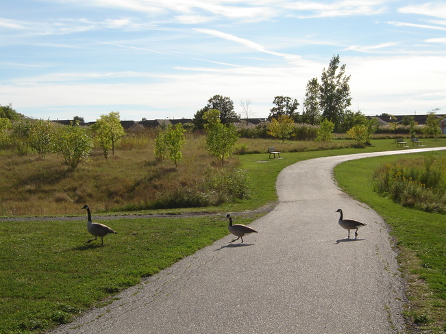 geese taking a walk Windsor, Ontario Canada