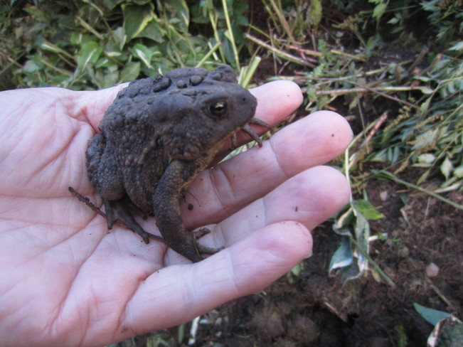 Toad in the compost