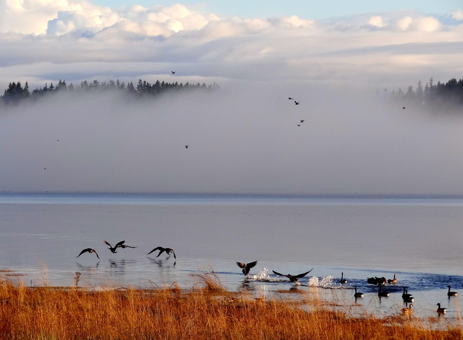 Canada geese fly into the fog Courtenay, British Columbia Canada