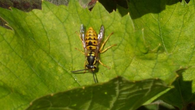 Hornet On Grape Leaf Whitby, Ontario Canada