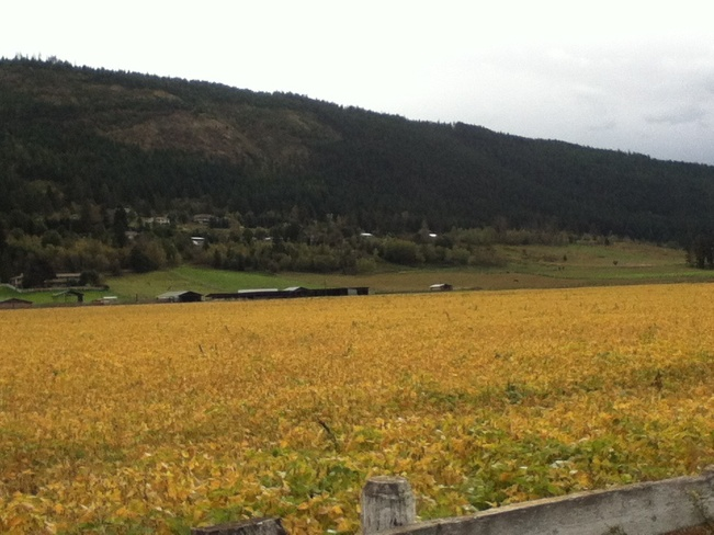 field of gold South Vernon, British Columbia Canada