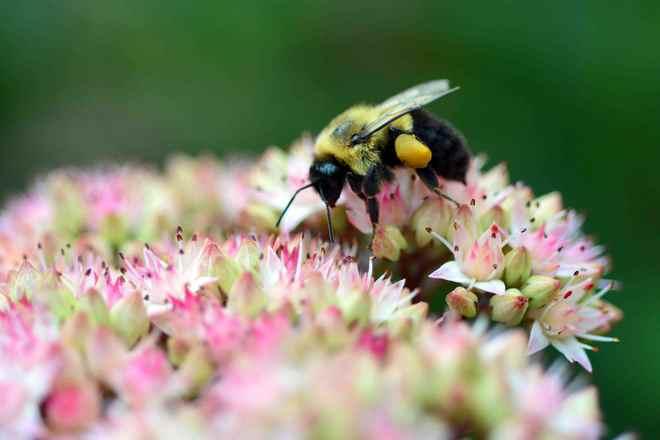 Bee on hydrangea Waterloo, Ontario Canada